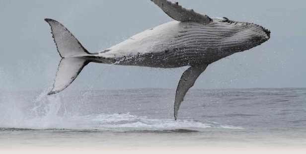 Sapphire-Coast-Hero-Images-Leaping-whale